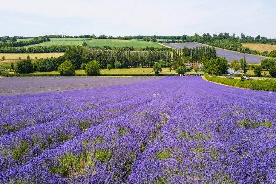 Castle_Farm_Lavender_099_3718